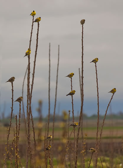 photo of colorful songbirds, roosting in a field