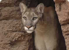 photo of a mountain lion in a rock cleft